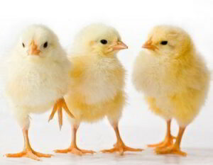 Ayam Broiler Cobb