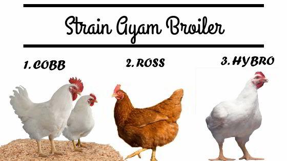 Ayam Broiler Hybro dan Ross