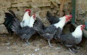 Harga Ayam Arab Terbaru